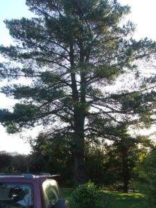 30ft Tree to be removed top down