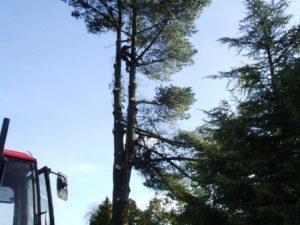 Tree Surgeon scaling 30ft tree