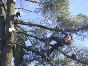 Tree Surgeon removing boughs from tree