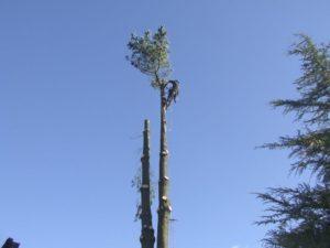 Tree Surgeon on top of 20 ft tree