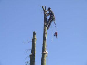 Tree Surgeon on top of tree