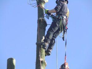 Tree surgeon using ropes to scalel tree
