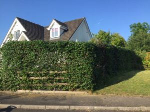 Front garden hedge shaped