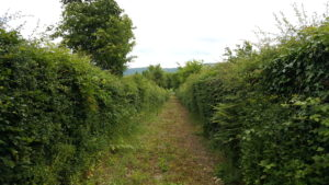 Long Hedge untrimmed and out of shape