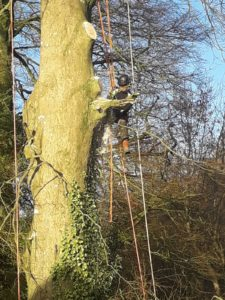 Beech tree removal / bough removal