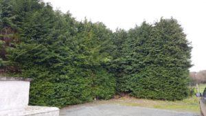 Leylandii Hedge - Before