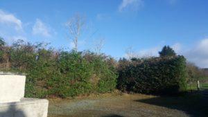 Leylandii Hedge - After